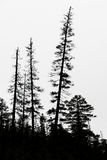 Old conifer trees in scandinavia Royalty Free Stock Photos