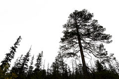 Old conifer trees in scandinavia Royalty Free Stock Image