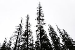 Old conifer trees in scandinavia Stock Images