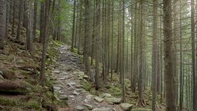 Old coniferous forest with green moss covered with stone soil. forest trail. 16: 9 picture stock photography