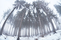 Old coniferous forest in winter fog Royalty Free Stock Images