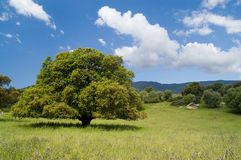 Old cork oak Stock Photo