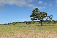 Old Cork Oak Stock Photography
