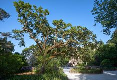 The old cork oak tree in the park of Quinta da Regaleira. Sintra. The old cork oak tree growing on the terrace of Celestial Worlds in Quinta da Regaleira park Royalty Free Stock Image