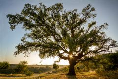 Old Cork oak tree Quercus suber in evening sun, Alentejo Portugal. Europe royalty free stock image