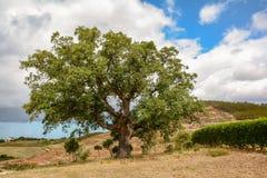Free Old Cork Oak Tree Quercus Suber In Morning Sun Light, Alentejo Portugal Europe Stock Photo - 118450910
