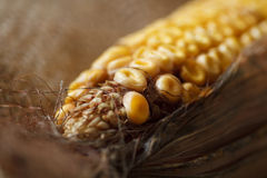 Old corn Stock Images