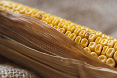 Old corn Royalty Free Stock Photo