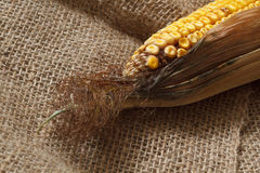 Old corn Royalty Free Stock Image