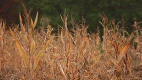 Old Corn Germ stock video