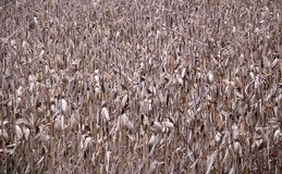 Old Cornstalks. Full frame view of old, aged field of cornstalks Royalty Free Stock Images
