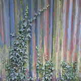 Old corrugated iron fence with ivy plant. Old corrugated iron fence with colorful veneer and ivy plant growing on it stock photos