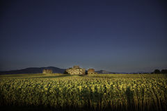 Old cottage in the middle of a field of sunflowers in Tuscany. royalty free stock image