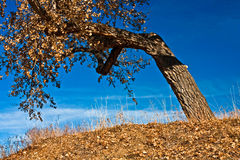 Old Cottonwood in Autumn Royalty Free Stock Photos