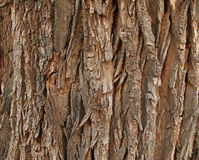 Old cottonwood bark Stock Photography