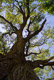 Old Cottonwood Tree. Large Old cottonwood tree in park Royalty Free Stock Images