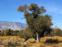 Old cottonwood tree in fall Stock Photos