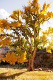 Old cottonwood tree in the fall at sunset. The old tree is still beautiful with its golden leaves. You can see the sun through one of the branches stock photography