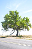 Old cottonwood tree by a rural road Royalty Free Stock Image