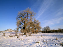 Old cottonwood trees in winter Stock Image
