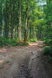 Old country road through beech forest. Wonderful nature scenery. tall trees with lush green crowns in may stock image