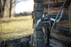 Old countryside house wooden wall details with cow skull Royalty Free Stock Photo