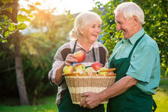 Old couple and apple basket. Smiling people in aprons. Spring has come Stock Photos