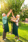Old couple picking apples. Royalty Free Stock Photography