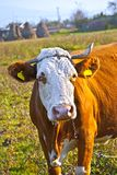 Old cow Royalty Free Stock Photography