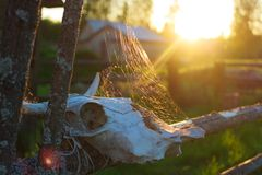 Old cow scull with the spiderweb and sun stock photos