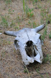Old cow skull on desert Royalty Free Stock Photos