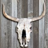 Old Cow Skull. Royalty Free Stock Images