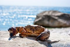 Old crab Stock Image