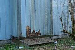 Damage to chiminey and siding from bugs and weather. Old cracked discolored siding on house in need or repair stock photos