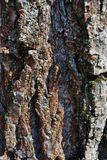 Old cracked poplar tree trunk texture, brown blurry vertical background, close up. Detail stock photos