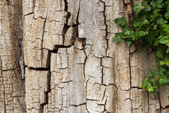 Old cracked tree bark partially covered in ivy, horizontal with copy space Royalty Free Stock Photos