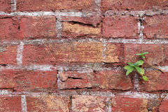 The old cracked wall of the abandoned ruins with small plant Royalty Free Stock Photos