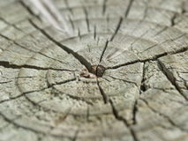 Old cracked wood trunk. Close-up of cracked tree trunk with concentric circles in a pattern Stock Photos