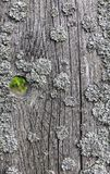 Old cracked wooden surface covered with lichen Stock Image