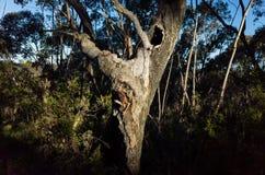 Old Craggy Eucalyptus Tree Stock Photography