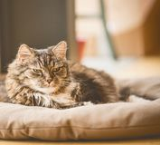 Old cray fluffy cat lies on litter on floor and looking at camera. Cozy home scene Royalty Free Stock Images