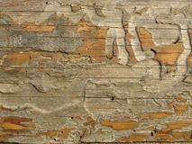 Old crecked wooden Board eaten by worms and beetles. Horizontal crecks on wooden board. Suitable for rustic style background. Space for text. Wood texture stock image