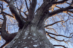 Old, crooked, antlered and bare tree Royalty Free Stock Image