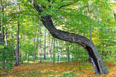 Old crooked tree in the forest Royalty Free Stock Image
