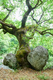 Old crooked tree surrounded by big stones Royalty Free Stock Image