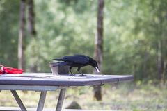 An old Crow eats off the picnic table in Cades Cove. stock image
