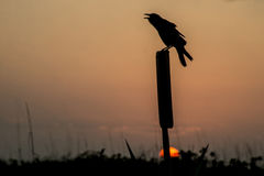 Old crow sitting on a post in front of a setting sun. Royalty Free Stock Photo