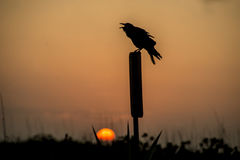 Old crow sitting on a post in front of a setting sun. Royalty Free Stock Images