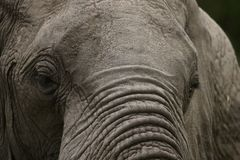 Old, crusty elephant. Sepia portrait of a wrinkly African elephant Stock Photo