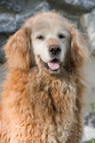 Old, Curly Golden Retriever Stock Photography